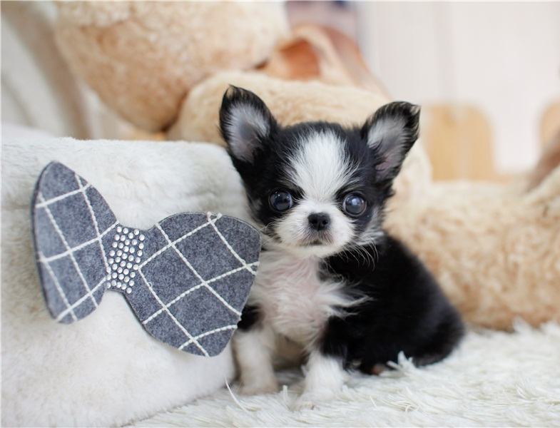 Amezing Mini Chihuahua Puppies  Pupps For Good Home