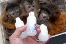Hand Raised Male And Female Capuchin And Marmoset Monkeys
